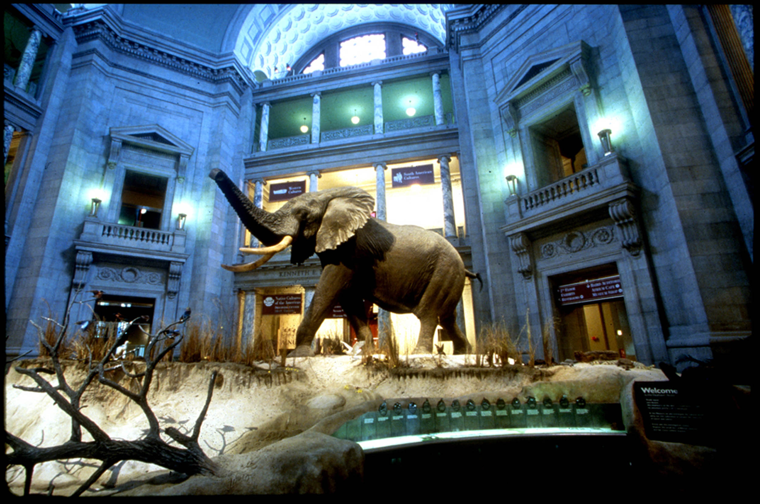 An African bull elephant greets visitors in the rotunda of the  National Museum of Natural History  in Washington D.C. / Image: Smithsonian