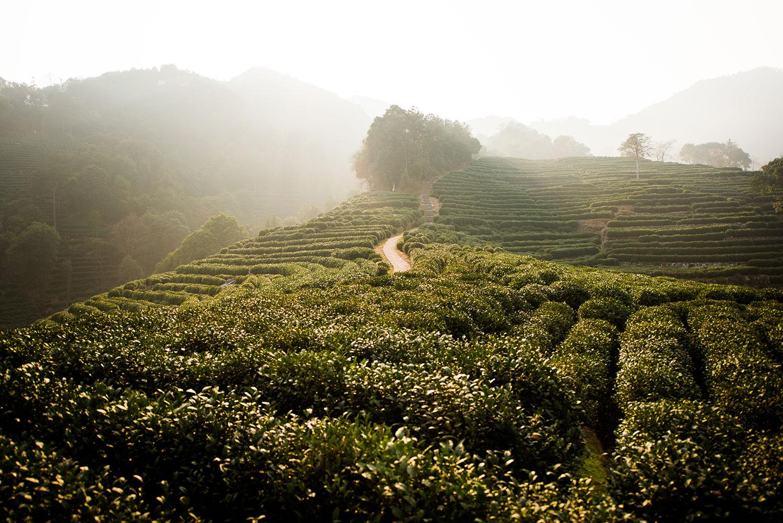 Hangzhou-tea-plantation.jpg