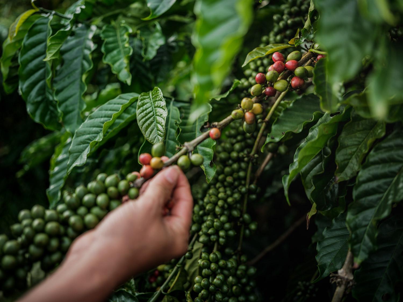 LDC-Coffee-Vietnam-Lam-Dong-web-5950.jpg