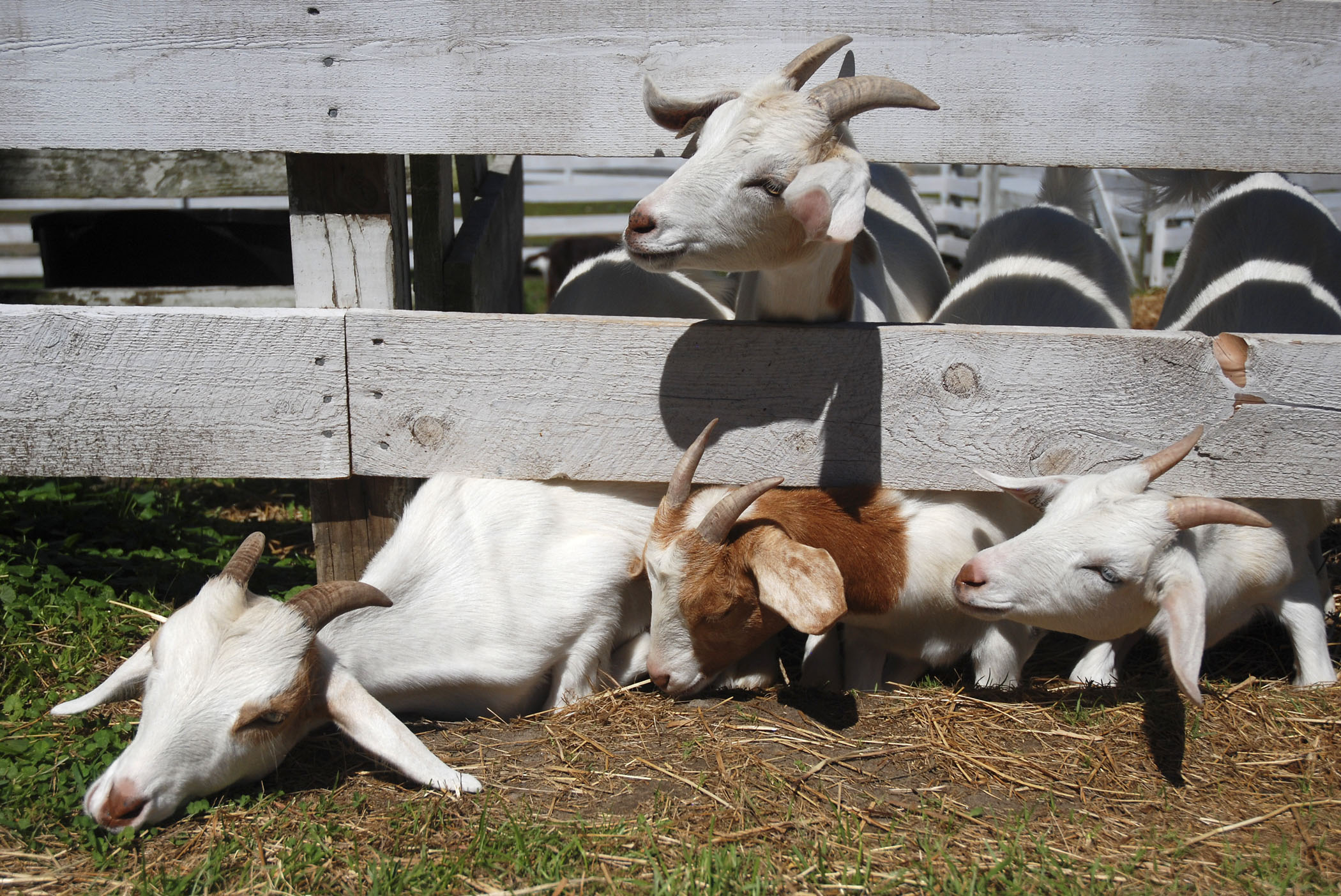 Goats stick their heads through the fence at the Retreat Farm in Brattleboro, Vt.