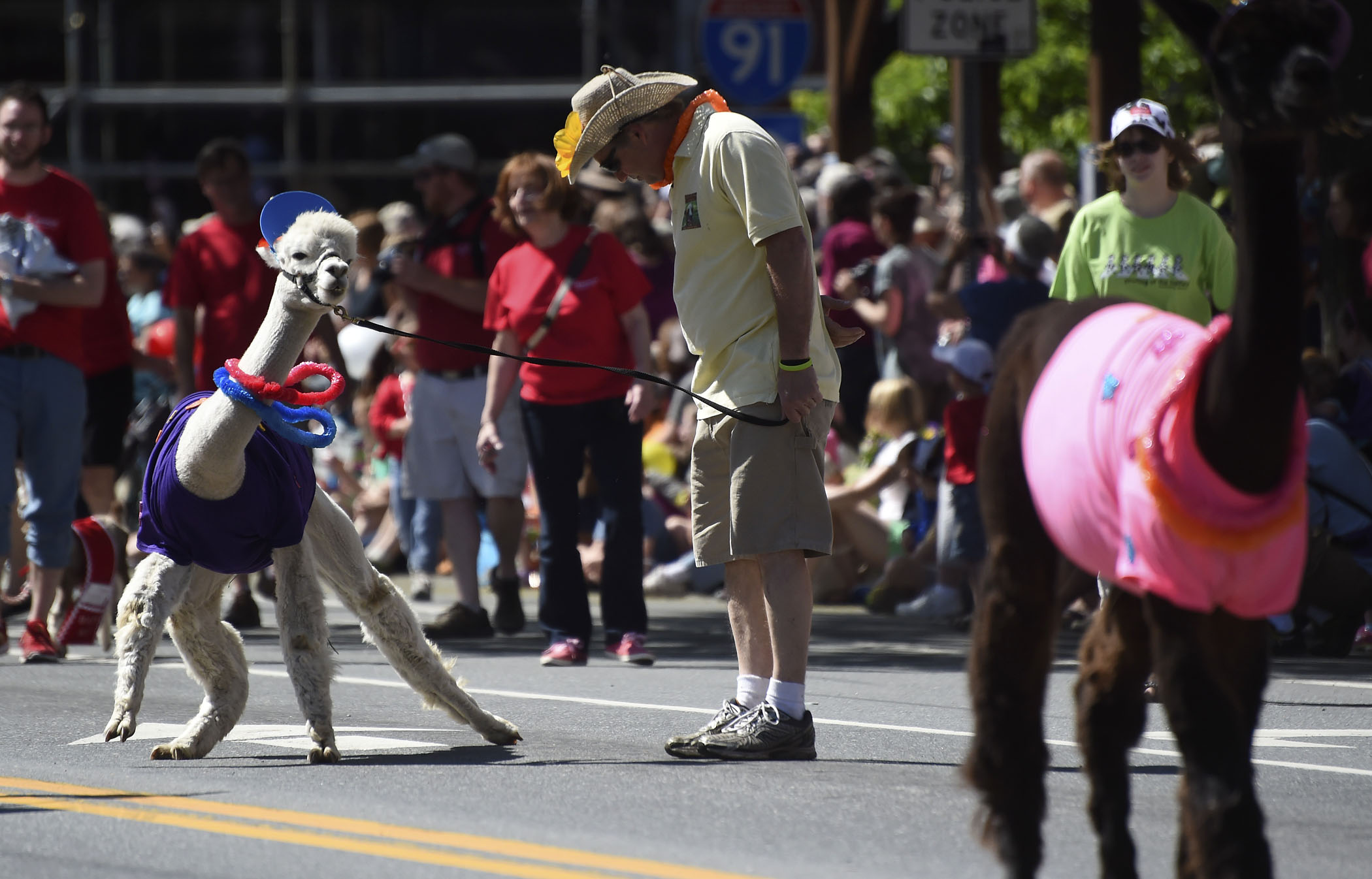 An alpaca with Mystic Meadows Alpacas refuses to cooperate with its leader during the Strolling of the Heifers parade in Brattleboro, Vt. on June 7, 2014.