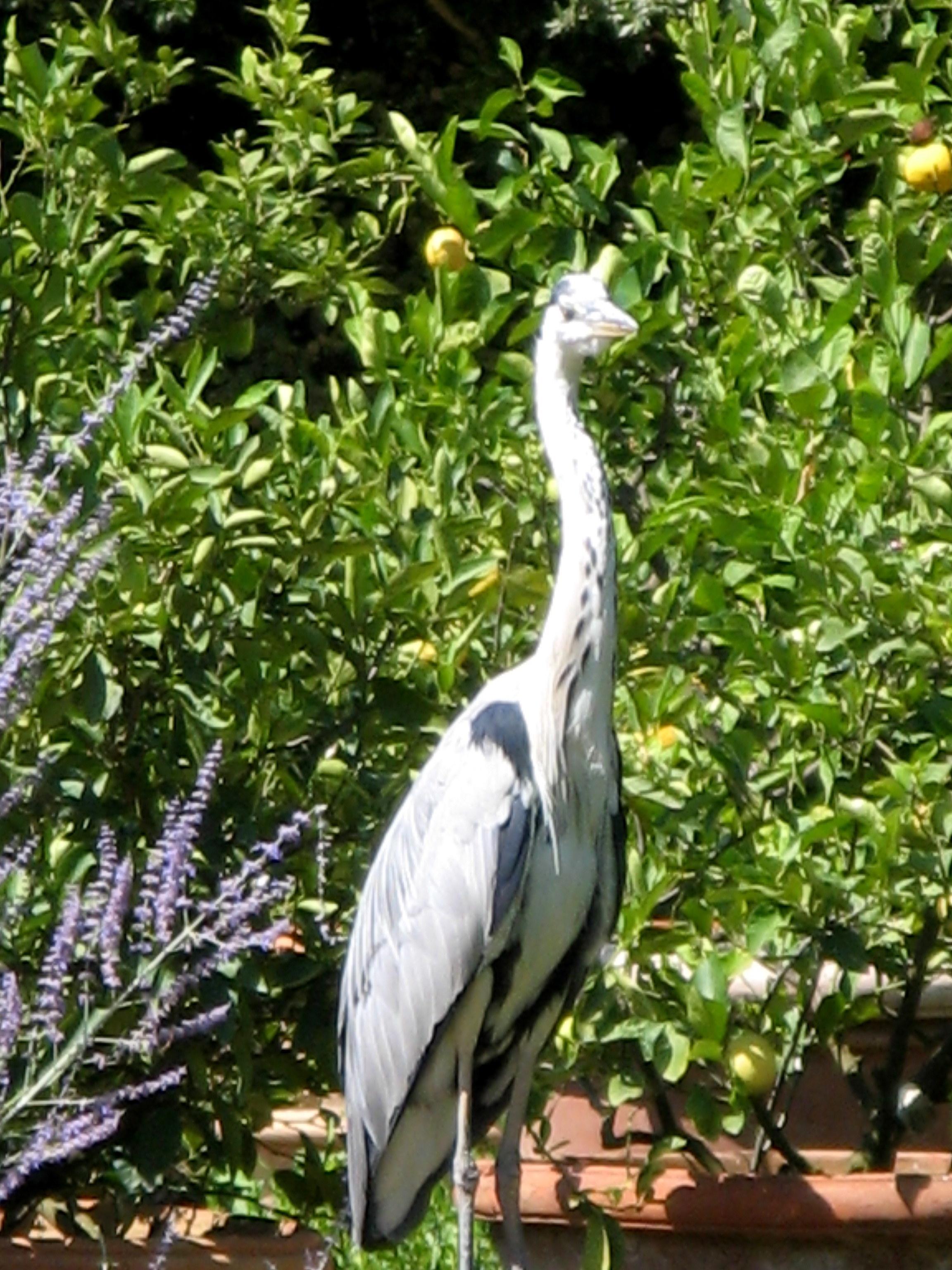 Boboli Garden heron