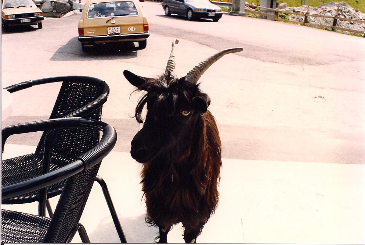 My Goat Enemy