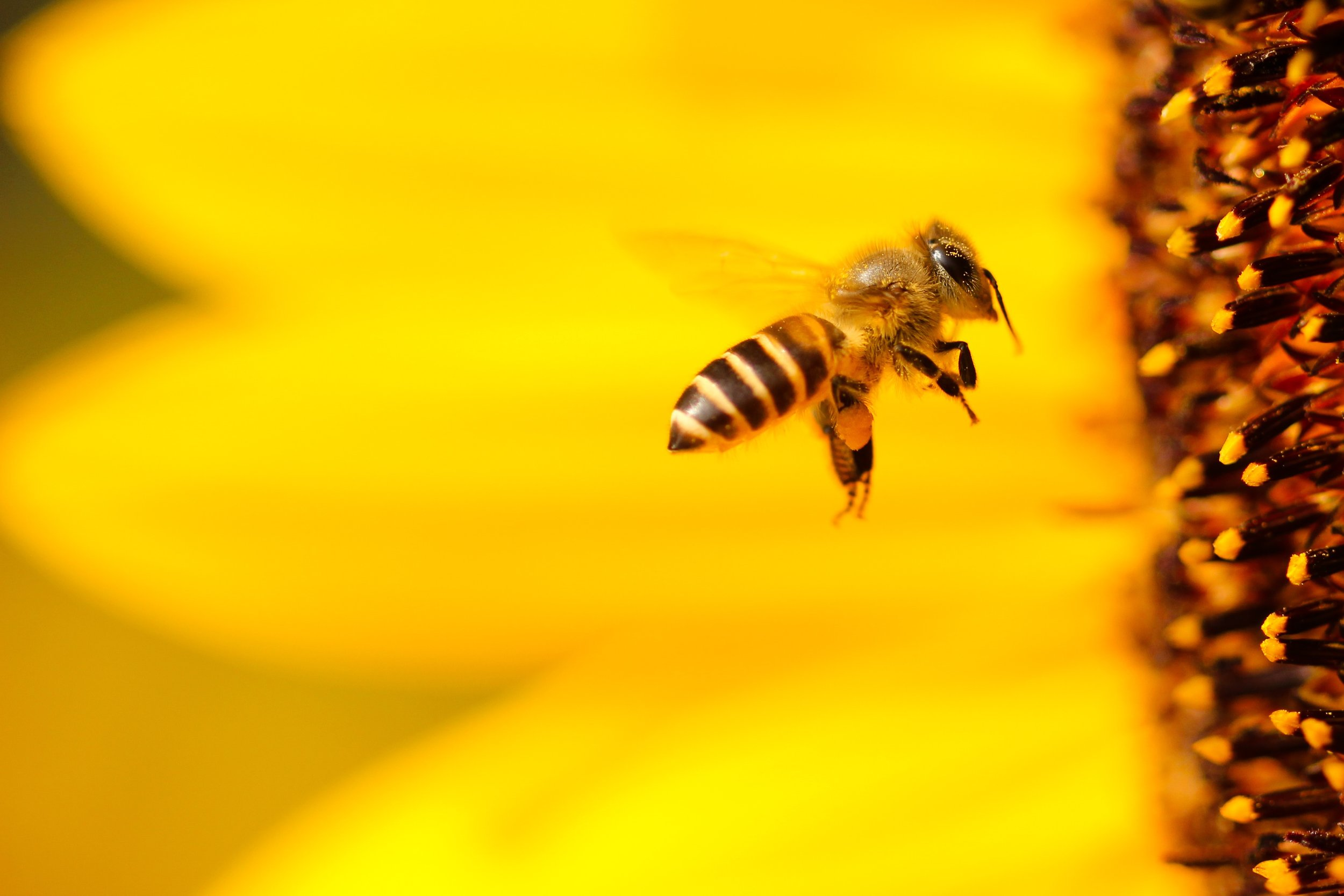 One of every three bites of food we take depend on the work of pollinators like the honey bee. In the US, it's estimated that the work of pollinating by honey bees, native regional bees, and other insects is valued at $20 billion annually.