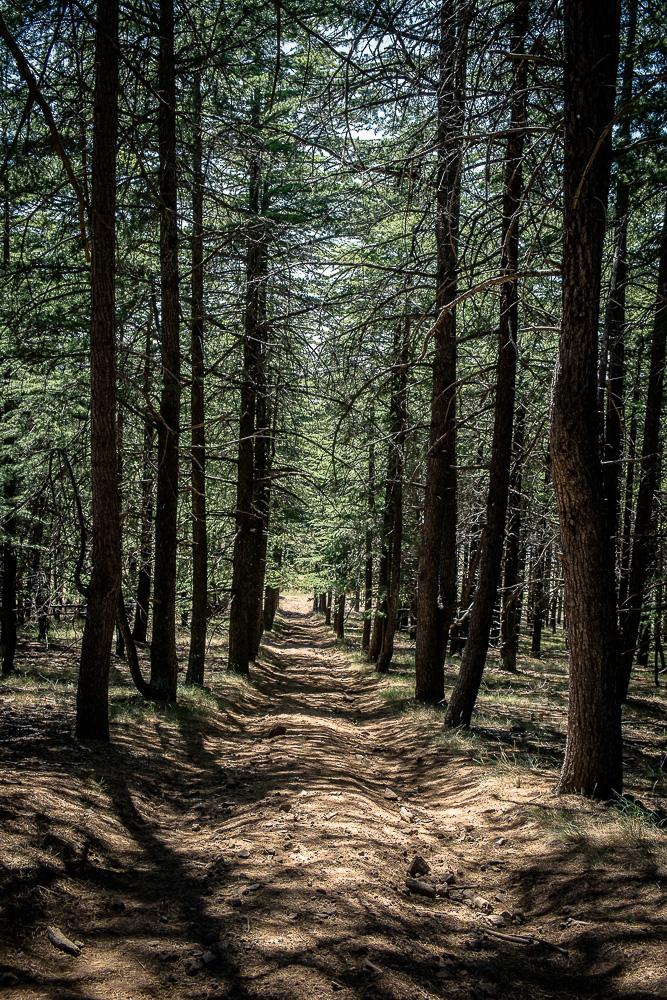Himalayan Cedar Plantation