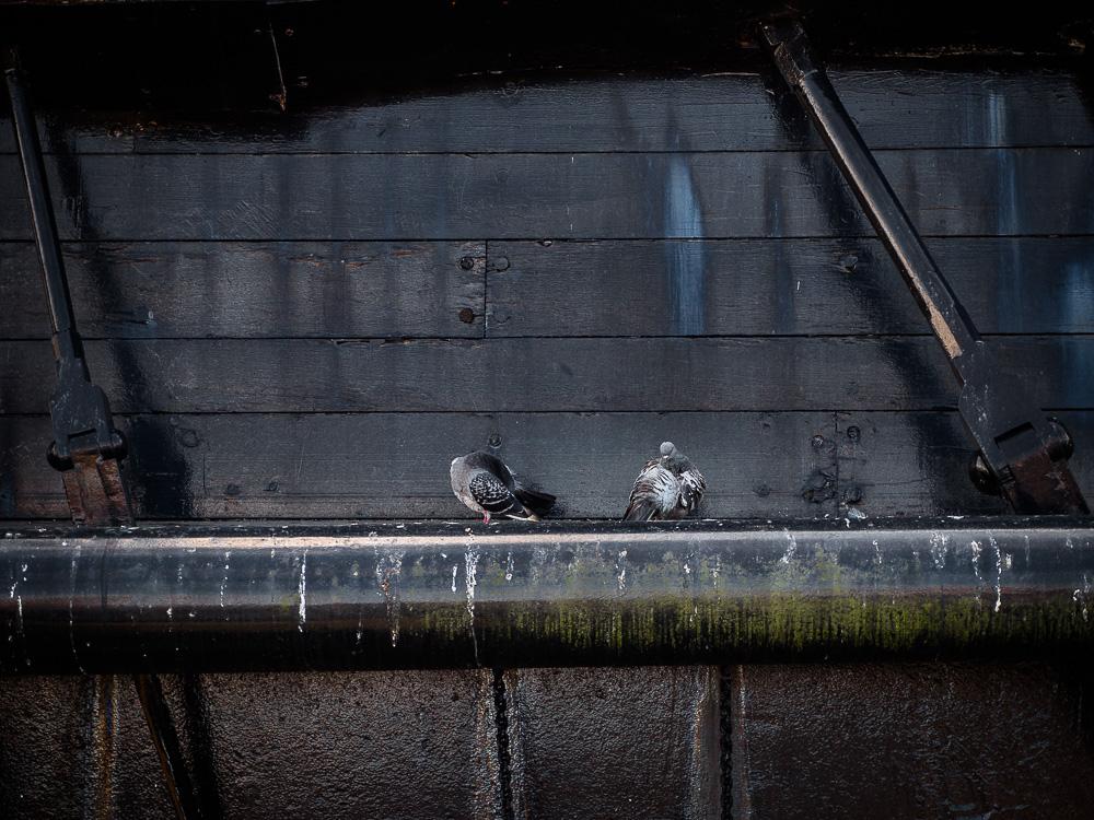 Pigeons on HMS Warrior