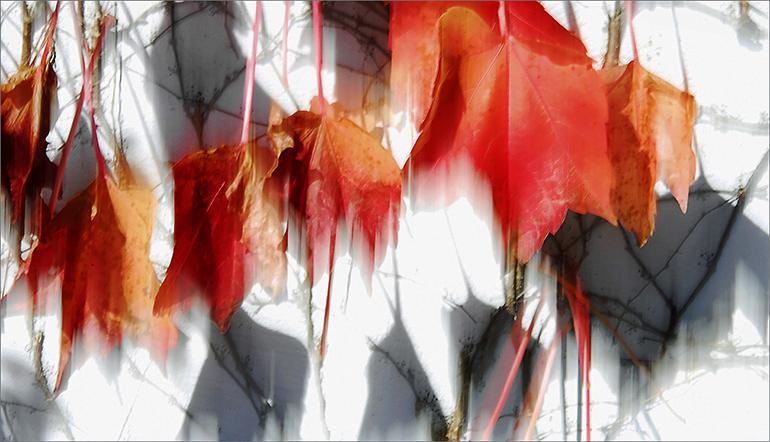 Autumnal Vine, 2008