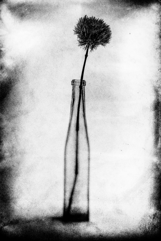 #48 (Dianthus barbatus)