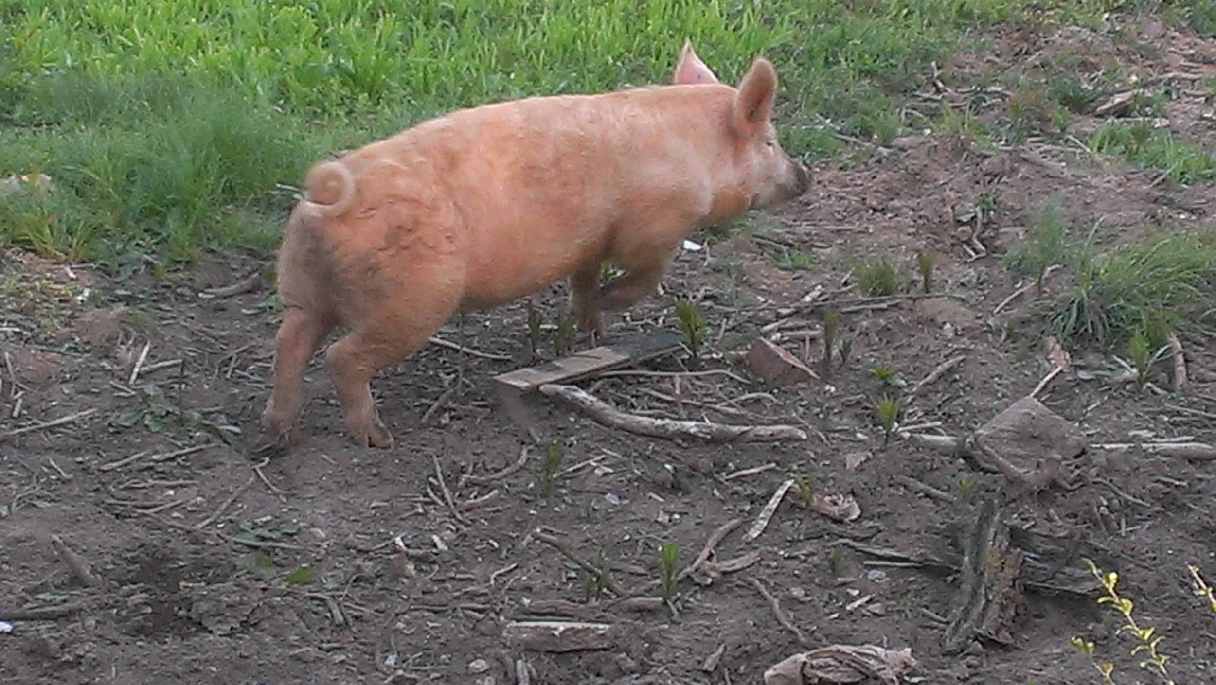 Escaping pig! You'd better run...Indy's on the job!