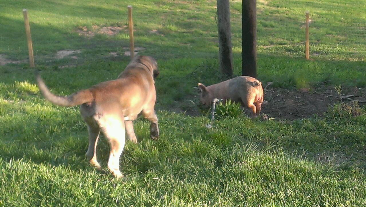 """""""That piggy's not supposed to be in the yard, is he?"""""""