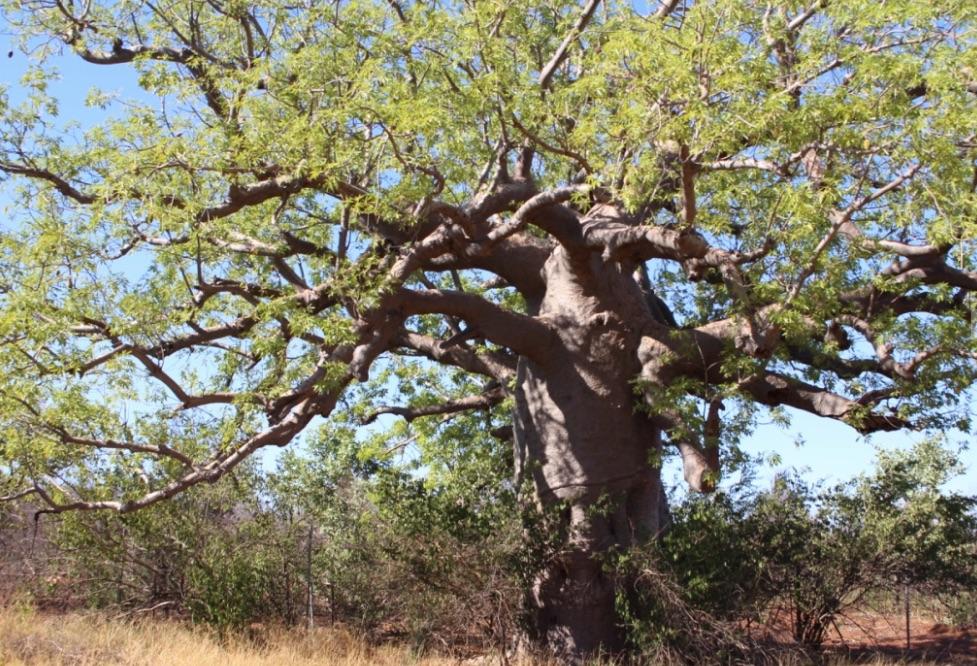 Old Boab Tree