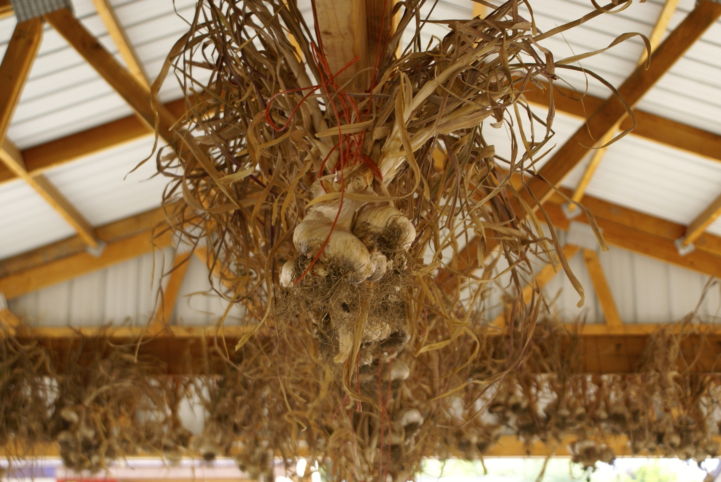 The interns spent hours digging up onions and garlic to hang and dry for the winter.