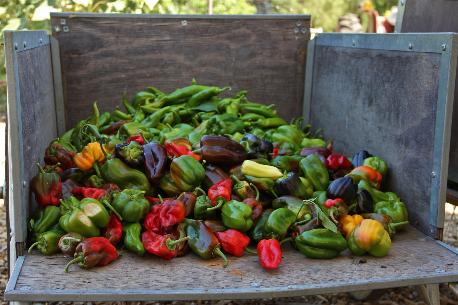 A bounty of multicolored bell peppers freshly harvested from the farm.