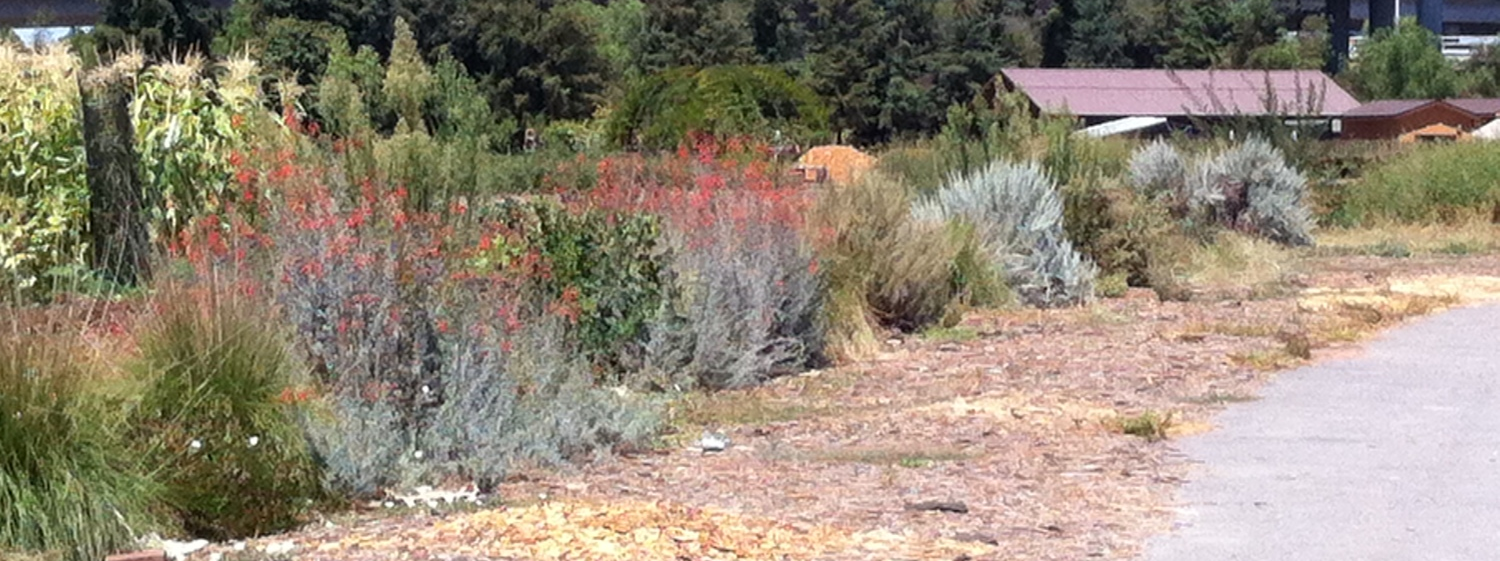 The Native hedgerow along the Eastern edge of our fields. Here you see flowering California Fuschia, Deergrass and several other species represented.