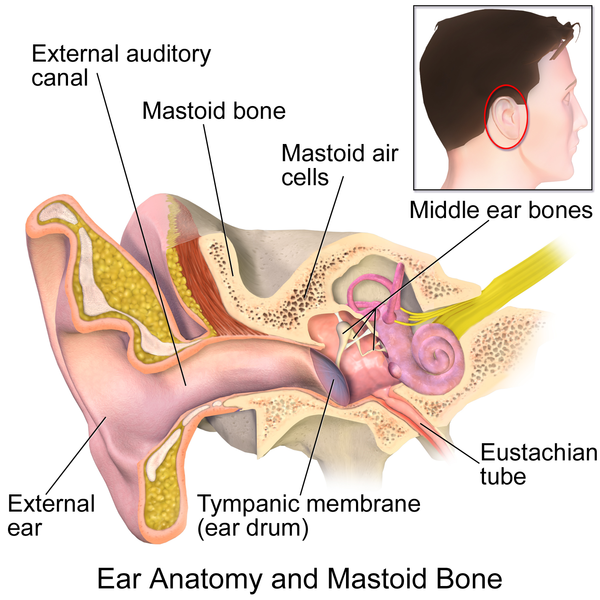 Anatomy of the ear. The middle ear bones are in the middle ear cavity. If the Eustachian tube is blocked expansion of the air here may burst the tympanic membrane.