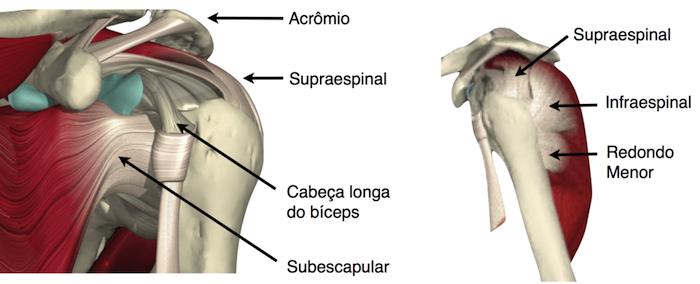 Anatomia Do Ombro Tendões Do Manguito Rotador E Bursa