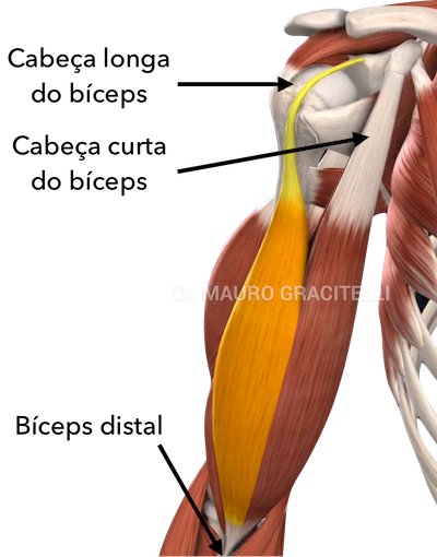 anatomia-biceps.png