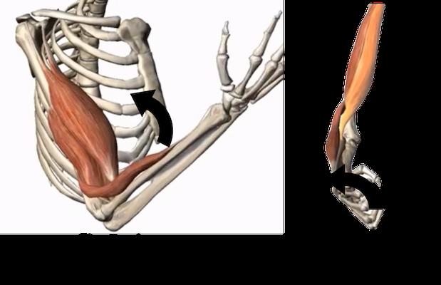 movimentos-biceps.png