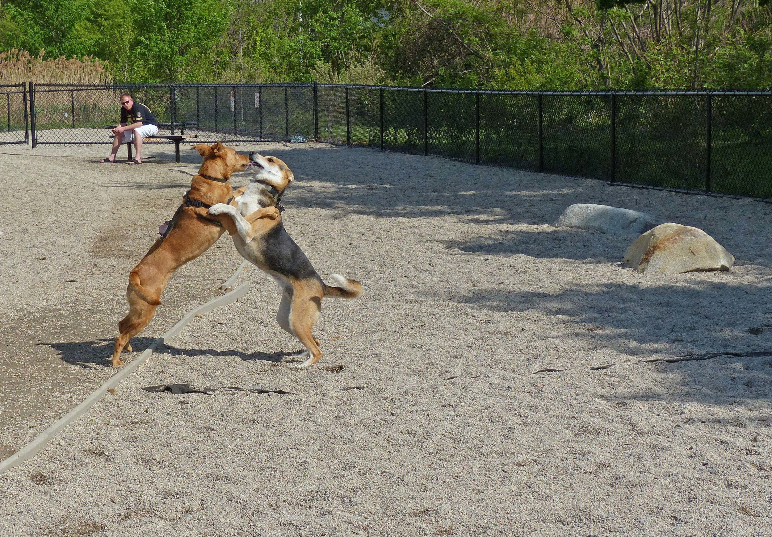 Dogs playing at the off-leash recreation area at Thorndike Field & Magnolia Park