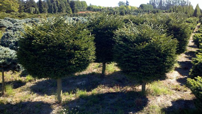 Picea-orientalis-Bergmanns-.jpg