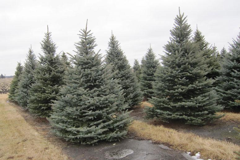 Colorado-Spruce-10ft.jpg