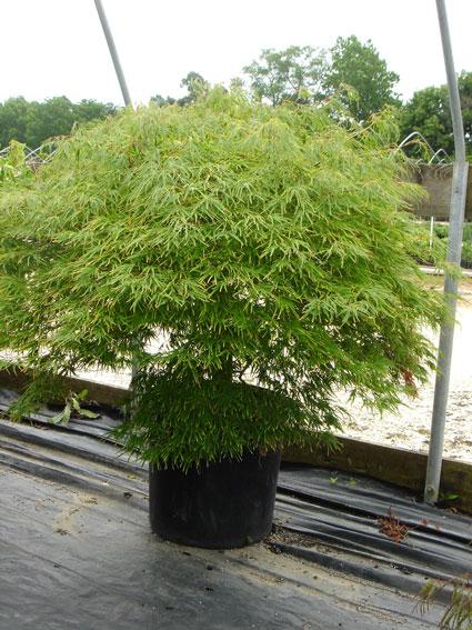 Acer-palmatum-dis-Green-Mis.jpg