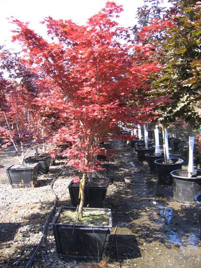 Acer-palmatum-Bloodgood-21-.jpg