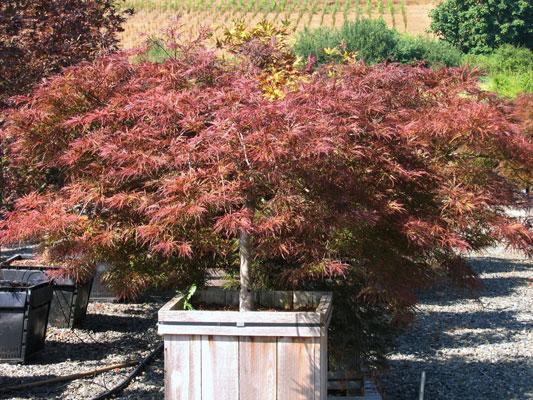 Acer-palmatum-dissectum-'In.jpg