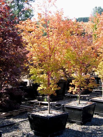 Acer-palmatum-Sango-Kaku-21.jpg