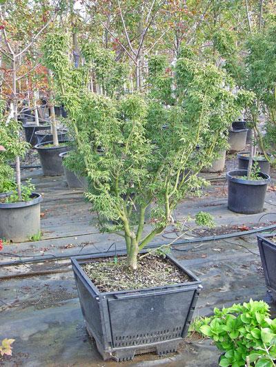 Acer-palmatum-Shishigashira.jpg