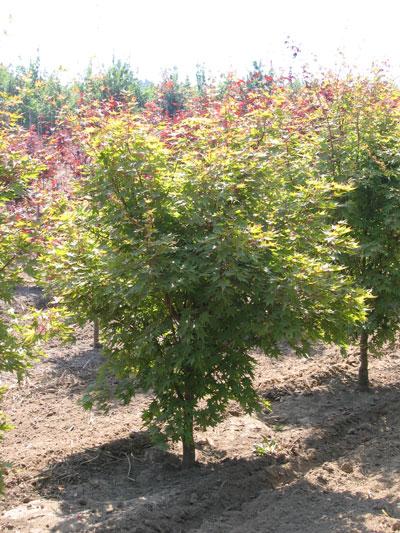 Acer-palmatum-Beni-Kawa.jpg