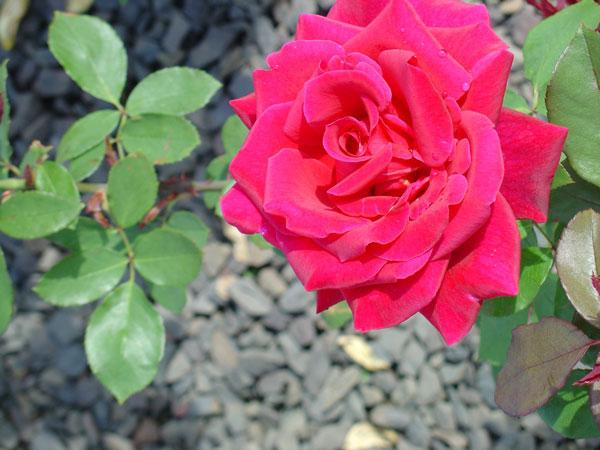 Blue-Sterling-Rose-up-close.jpg