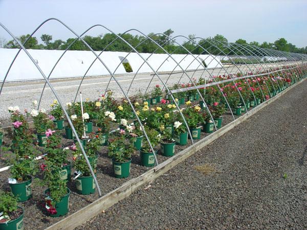 Various-Roses.jpg