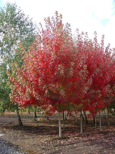 Acer-Autumn-Blaze.jpg