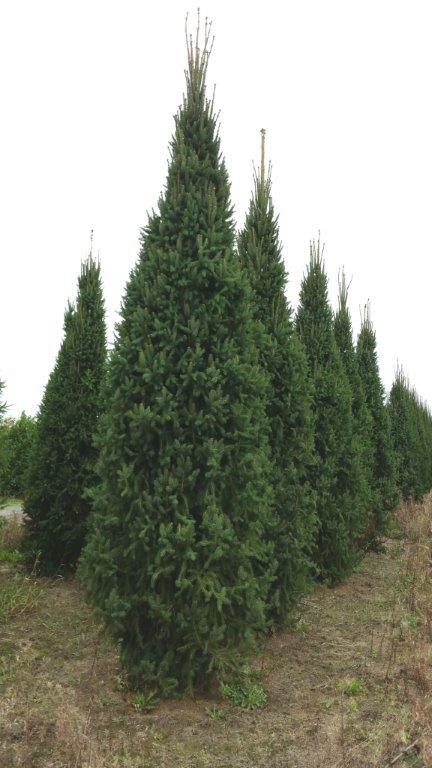 Cupressina Spruce - up to 16' tall