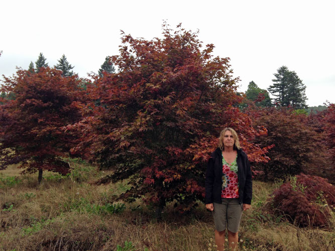 """Acer palmatum Fireglow - up to 3.5"""" (*note - we also have 3"""" Bloodgoods and Emperor 1's available)"""
