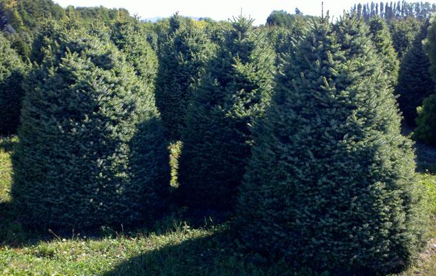 Picea omorika Nana - up to 9/10'