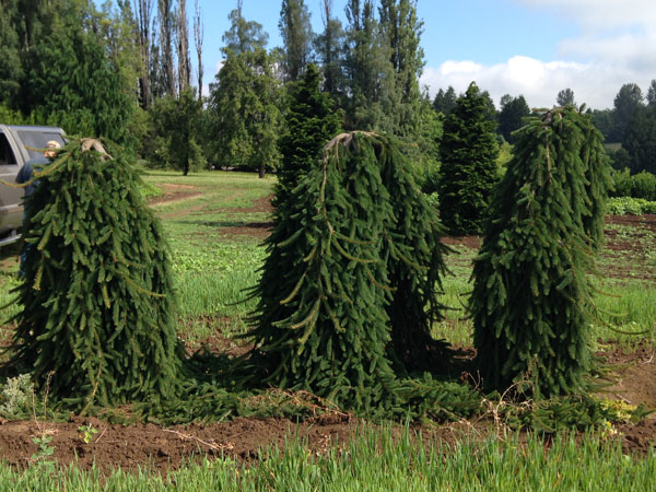 Weeping Norway Spruce - various sizes and grafts