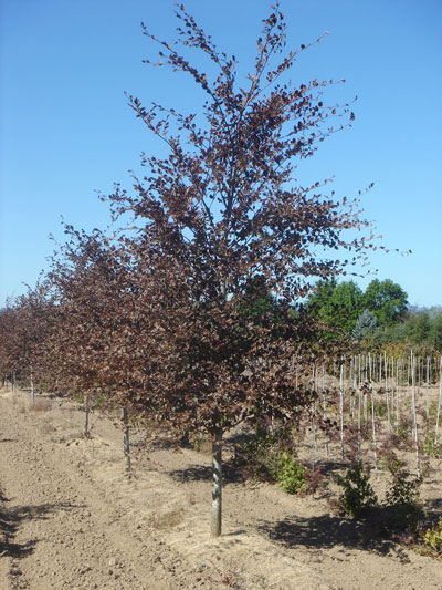 """Tricolor Beech - up to 3"""""""