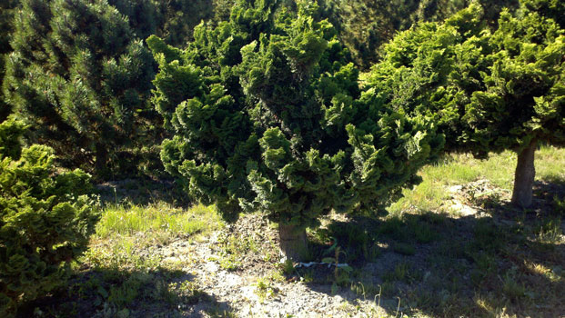 Dwarf Hinoki Cypress on Std - various head and standard sizes available