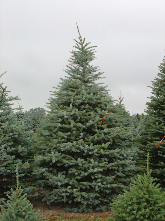 Colorado Blue Spruce - up to 12'