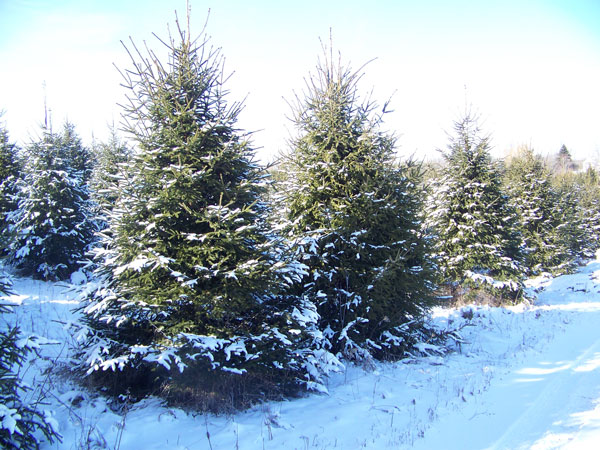 Norway Spruce - up to 18'