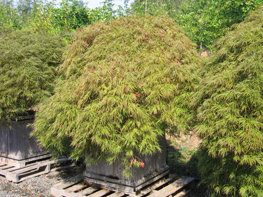 Acer palmatum dissectum - various cultivars and sizes available