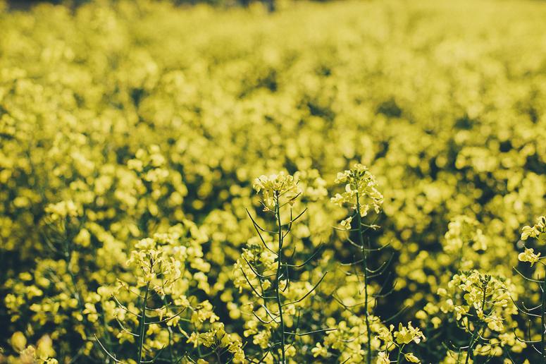Canola Fields Blog-9.jpg