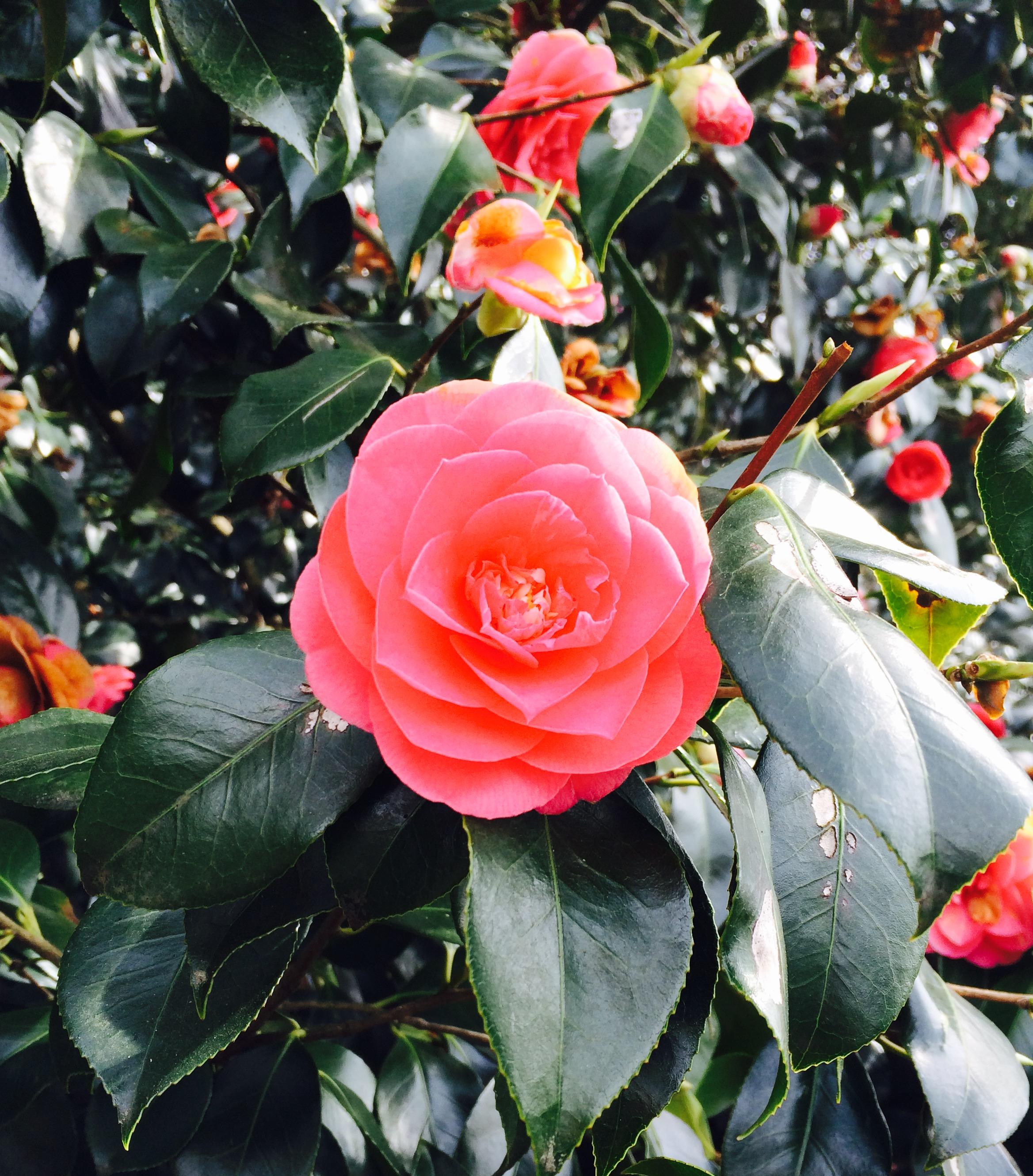 'Rose in bloom'  By Charlotte
