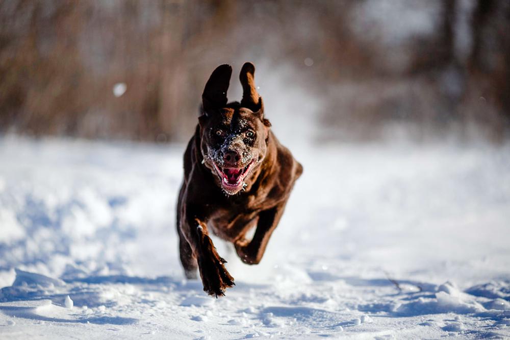 Dog running through snow Morris Manitoba