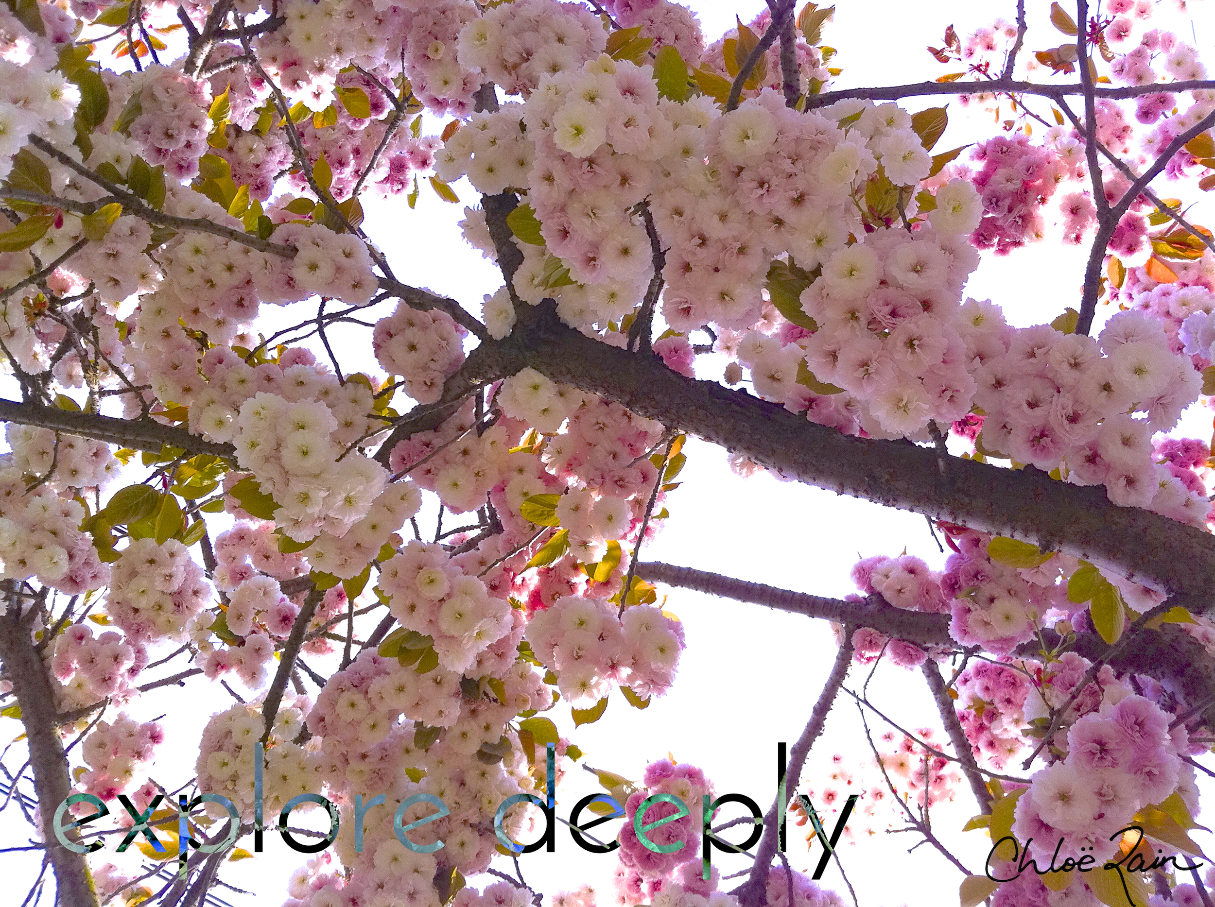 explore deeply spring cherry blossoms inspirational quotes grace giving tuesday
