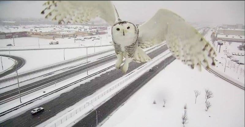 Big Questions Job Secrets Language Movies Space The Weather World War I Traffic Camera Accidentally Snaps Beautiful Photo of a Snowy Owl