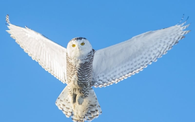 exploredeeply/live-your-purpose/appearance-of-the-great-white-snowy-owl-and-its-spiritual-significance