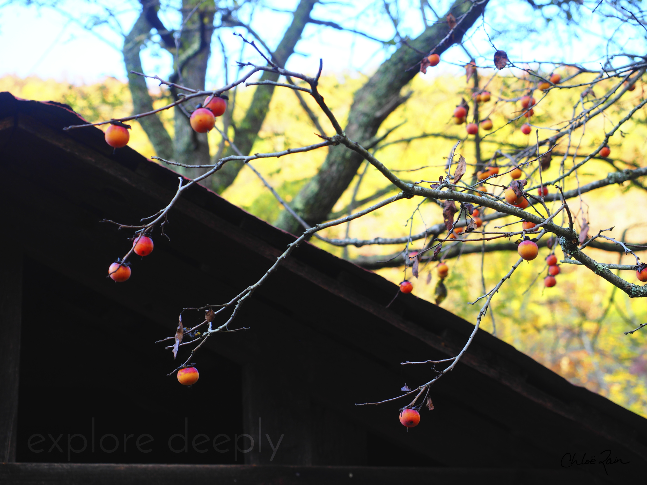 Wild Persimmons in the Fall